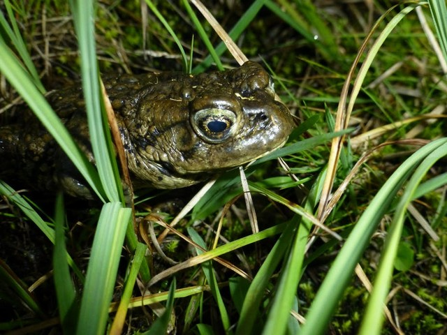 Saving amphibians from a deadly fungus means acting without knowing all the answers