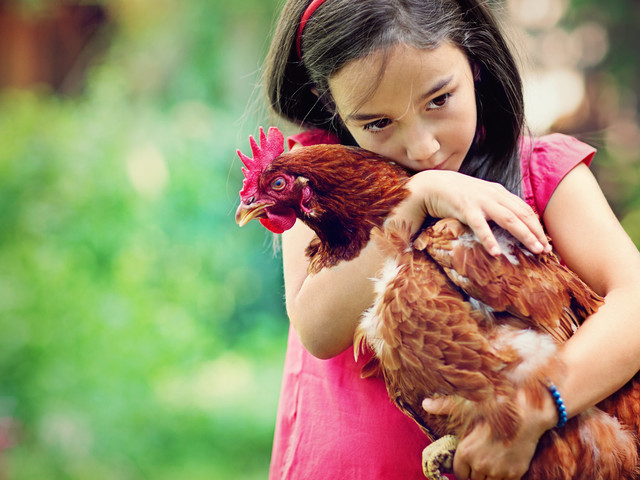 Salmonella Is On The Rise Because People Won't Stop Cuddling Their Chickens
