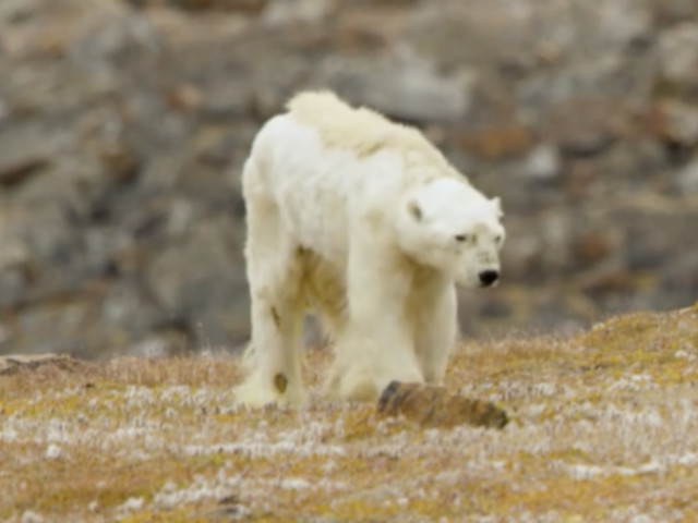 Starving Polar Bear Captured On Camera In Heartbreaking Footage