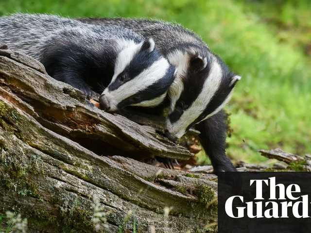 Badger campaigners lose high court battle to limit cull