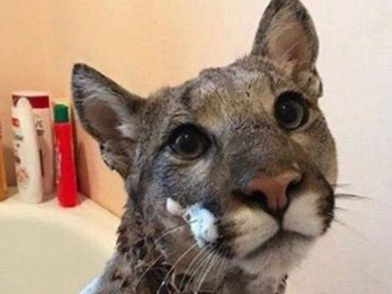 Woman Rescues And Bathes The 'Cat' She Found...But It's Definitely A Mountain Lion