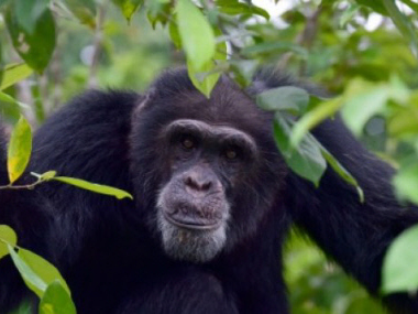 Helping Ponso, sole survivor of 'Chimpanzee Island' in I. Coast