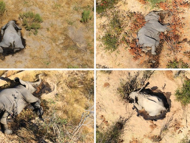 Botswana's government is stalling efforts to get to the bottom of 350 mysterious elephant deaths, conservationists say