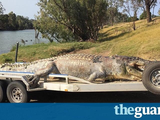 Crocodile over five metres long found shot dead in Queensland