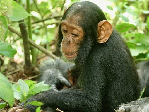 Warning as researchers find common cold and other human viruses are killing wild chimps in Uganda