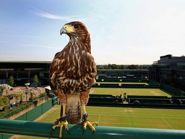 Who is Rufus the Hawk? Wimbledon 2019's bird scarer who has protected The All England Club from pigeons for over 15 years