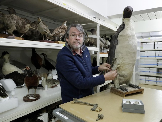 Monster penguin fossils the size of an adult human found in New Zealand