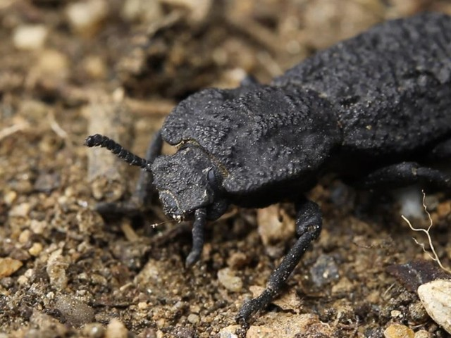 The diabolical ironclad beetle is practically indestructible. Now scientists know why - CNET