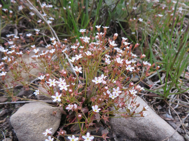 Climate warming causes local extinction of Rocky Mountain wildflower species