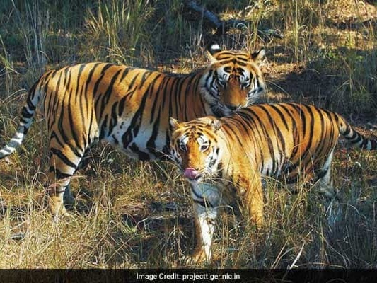 More Than 2,300 Tigers Killed, Trafficked This Century: Report