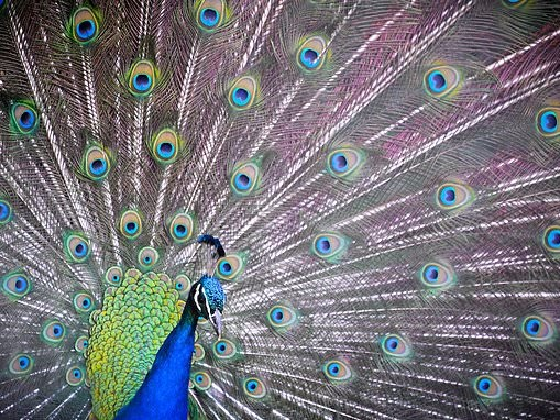 Are peacocks' colorful tails actually camouflage?