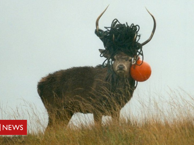 Stags on Rum found tangled in lost fishing gear