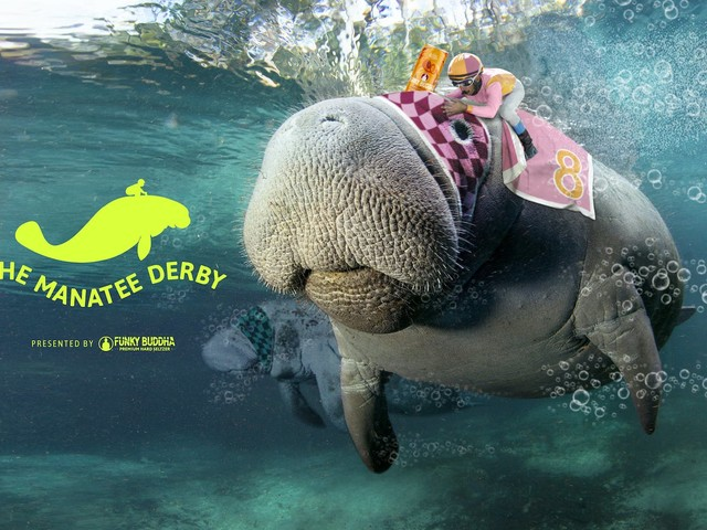 Funky Buddha sets up the Manatee Derby to promote seltzer