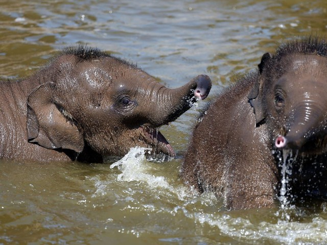 Older sisters better than older brothers for elephants, research suggests