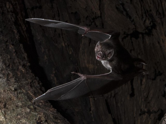 Vampire bats socially distance when they're sick, study shows