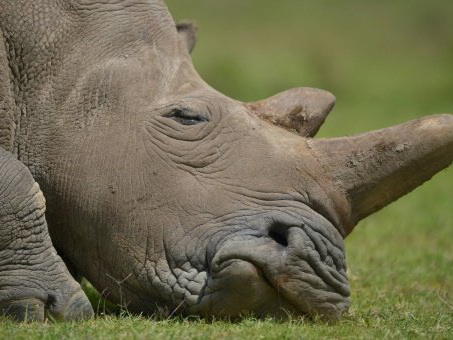 Rhino horn smugglers shift to jewellery