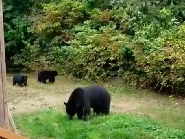 Man's encounter with bears is the most Canadian thing you'll ever see