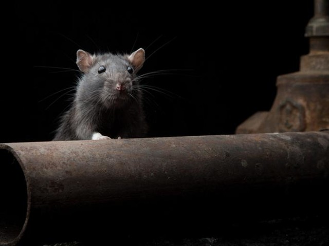 De Blasio Wants to Dramatically Reduce NYC's Rat Population. Don't Hold Your Breath.