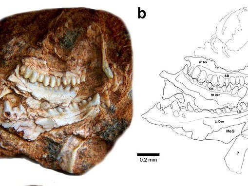 Ancient reptile the size of a gecko lived on the supercontinent Gondwana 237 million years ago
