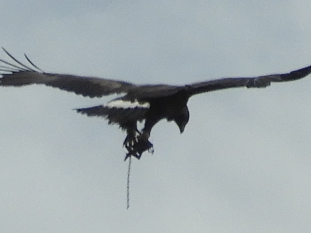 Appeal after golden eagle spotted in north-east with trap on its leg