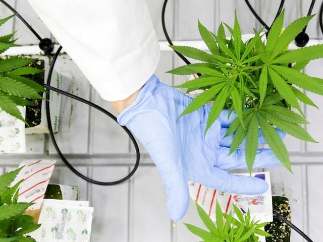 Cannabis producer Cronos drops despite beating its highest profit estimate (CRON)