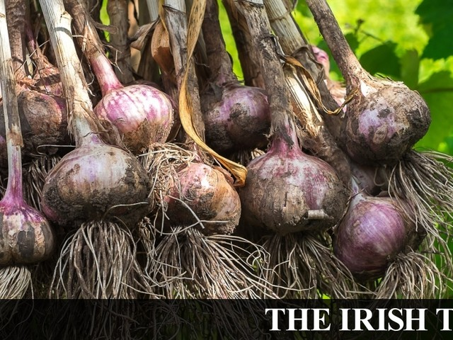 Move over potatoes – it's time to plant onions, garlic and rhubarb