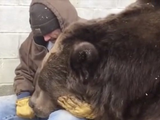 Sweet Video Shows Caretaker Comforting A Sick, 1,400-Pound Bear