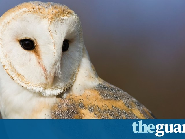 Barn owls don't lose their hearing with age, scientists find