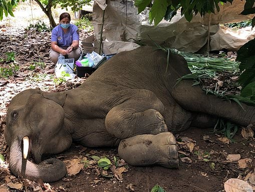 Five-year-old elephant dies in agony after being shot in Thailand
