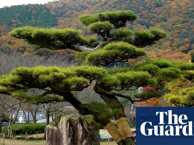 Tree of the week: 'This black pine represents how nature forces change on to living things'