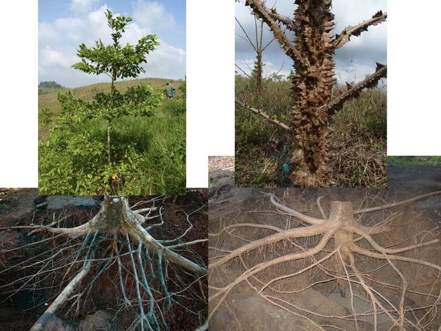 Tropical tree roots represent an underappreciated carbon pool