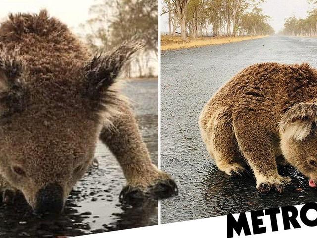 Thirsty koala risks life to lick rainwater off road in fire-ravaged Australia