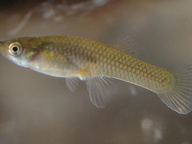 'Prozac pollution' making fish less aggressive - study