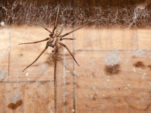 Surge of spiders in UK homes after summer feeding frenzy, according to researchers