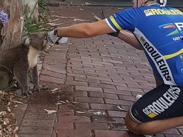 Cyclist stops to give thirsty koala dubbed 'Slurpy' a drink of water