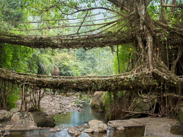 In the wettest place in the world, people grow 'living' bridges out of tree roots that can stand strong for centuries