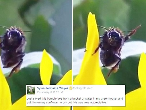 Video shows bumble bee wave at New Zealand man that saved insect from bucket of water