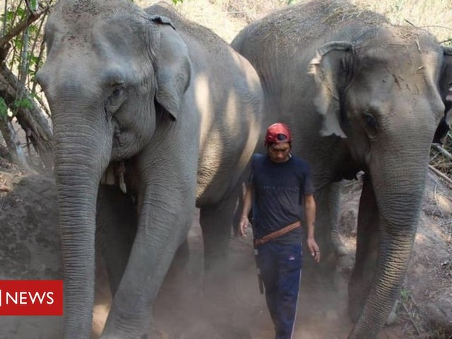 Coronavirus: Thai elephants face starvation as tourism collapses
