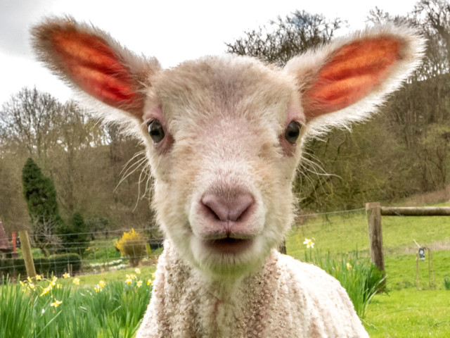 For The First Day Of Spring, Here's An Adorable Lamb