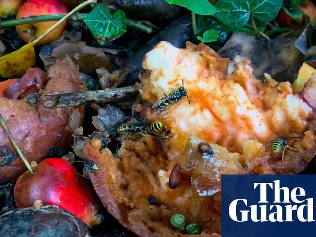 Country diary: wasps gather to revel in fermenting apple rot
