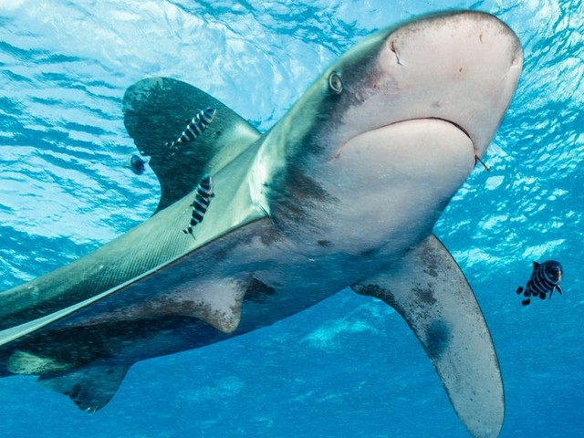 Sharks once nearly disappeared in an abrupt extinction event 'twice as extreme' as the one that killed the dinosaurs