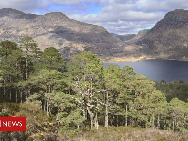 Genetic reserve in Wester Ross to protect Scotland's national tree