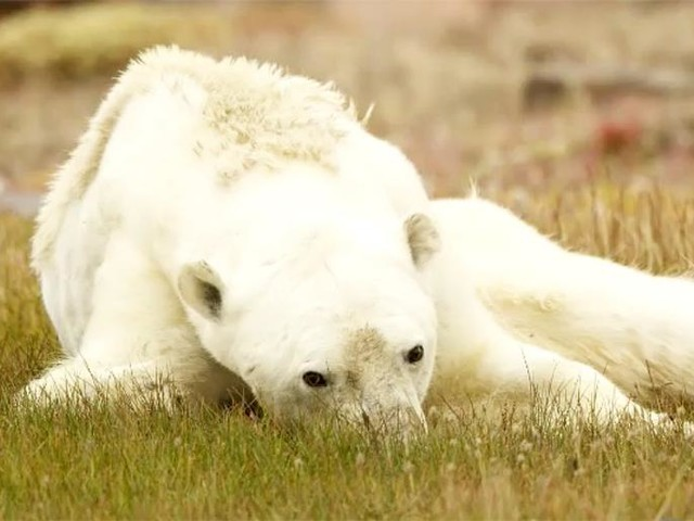 Is That Starving Polar Bear Dying From Climate Change? Probably Not.