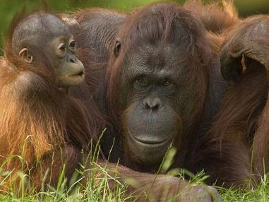 how are orang utan populations under threat Media here you'll find a oscar-gewinner leonardo dicaprio und schauspielkollege adrien brody besuchten das orang-utan orang-utan populations in indonesia.