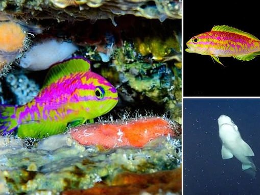 Dazzling neon-coloured fish discovered by deep sea divers in the middle of the Atlantic Ocean