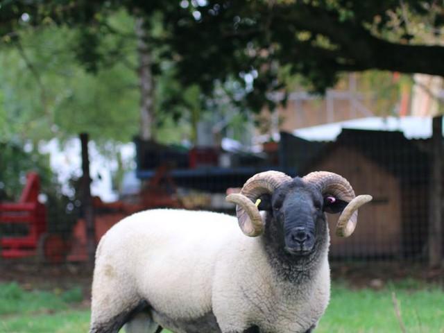Baa-vellous News! Sheep Will Graze On Hampstead Heath Next Week