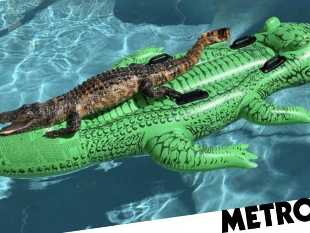 Real alligator soaks up the sun on inflatable alligator pool float