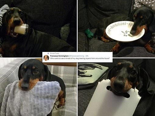 Dog owner reveals her tiny pup's compulsive stealing habit