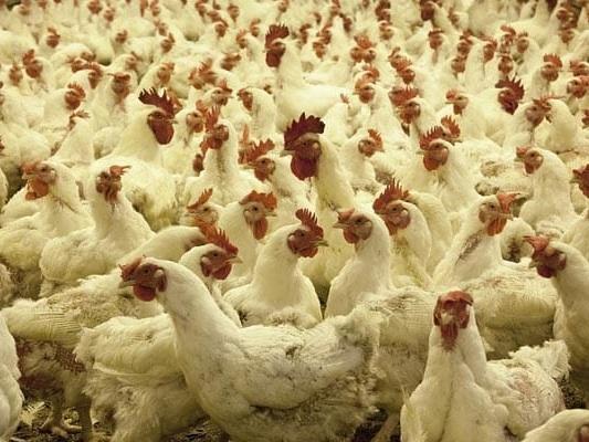 Culling Of Chickens Begins Near Chilika Lake After Bird Flu Hits Odisha