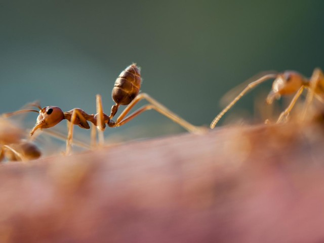 Strange undertakings: Ant queens bury dead to prevent disease
